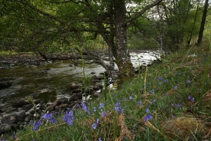 Bluebells (Hyacinthoides non-scripta) and an alder tree (Alnus glutinosa) beside the Cannich River.