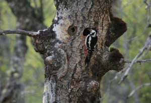 Female great spotted woodpecker (Dendrocopos major) at the nest hole in the aspen tree. She's distinguished from the male by the absence of the red cap on her head.
