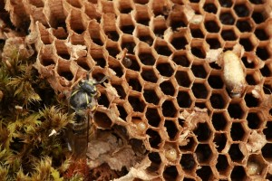 Here, larvae can be seen in several of the cells in the honeycomb.
