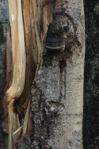 Another view of the bracket and the fracture line on the aspen trunk.