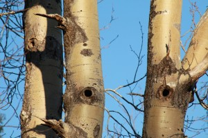 Closer view of the woodpecker nest holes in the aspen trunks.