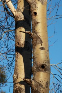 Another view of the aspen trunks with the woodpecker nest holes visible.