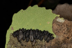 Larvae of the leaf beetle (Phratora vitellinae) feeding on the underside of an aspen leaf. The empty egg cases they hatched out from cane be seen in the upper right of the photo.