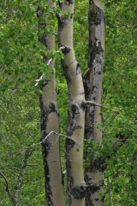 Another view of the aspen trunks as they were in July 2005.