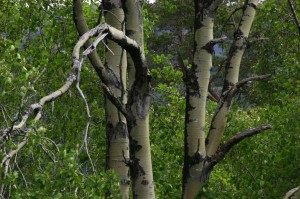 Trunks and leaves of an aspen tree at Dundreggan.