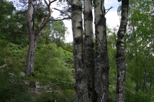 In this photo from July 2005, the parallel trunks of the aspen can be seen, as well as a Scots pine on the other side of the Aspen Burn.