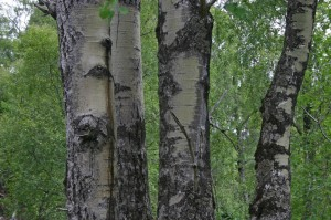 Closer view of the aspen trunks in July 2005.