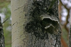 Aspen bracket fungus (Phellinus tremulae) on one of the aspen trunks in July 2005.