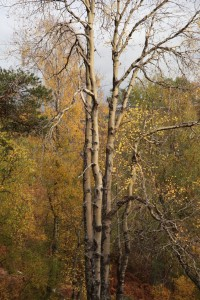 The same aspen in October 2010, when all of the trunks were intact.