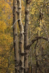 Another view of the aspen in October 2010.