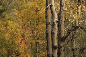 View of the aspen trunks and birches (Betula spp.) in October 2010.