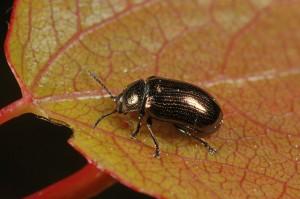 Leaf beetle (Phratora vitellinae) on a newly emerged aspen leaf.