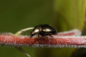 This specimen of the same beetle (Phratora vitellinae) on an aspen stem, is slightly different in colour.