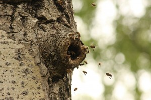Another view of the honey bees at the hole in the aspen trunk.