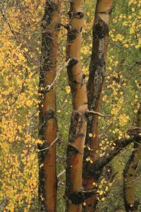 Trunks of the aspen tree in autumn 2008, 5 years before the storm damage.