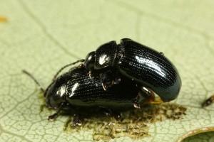 Leaf beetles (Phratora vitellinae) mating on an aspen leaf.