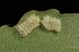 Eggs of the leaf beetle (Phratora vitellinae) on the underside of an aspen leaf.