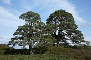 Scots pines (Pinus sylvestris) in the sunshine in  Glen Strathfarrar.