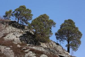 Scots pines (Pinus sylvestris) on a rock outcrop in Glen Strathfarrar.