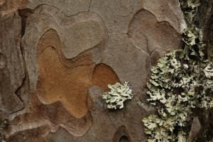 In this close up image, the different layers of the bark, and their colour variations, can be seen. The lichen is heather rags lichen (Hypogymnia physodes) - the most common species that grows on pine bark.