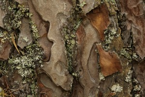 Closer view of a section of the bark on the Scots pine.