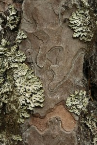 Here's another unique combination of bark pattern and patches of heather rags lichen (Hypogymnia physodes).