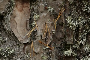 The pine needles suspended in front of this piece of bark give away the presence of some strands of spider's silk that they are caught on.