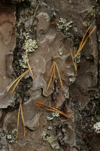 Another view of the pine needles caught on spider's silk on the pine bark.