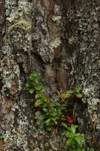 Another patch of cowberry (Vaccinium vitis-idaea) at the base of the pine's trunk.