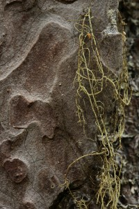 This is one of the beard lichens (Usnea spp.) on this section of the pine's bark.