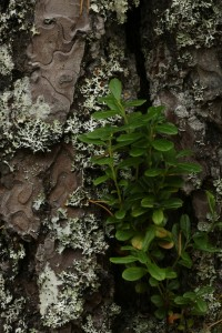 Here a cowberry plant (Vaccinium vitis-idaea) was growing up part of the pine's trunk.