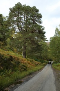 This photograph shows the size of the tree, in comparison with a car driving along the road beside it