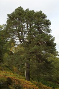 This large Scots pine is one of my favourites. I call it the 'trident' tree because its trunk splits into 3 main branches about half way up.