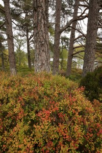 Another view of the colourful patch of blaeberry (Vaccinium myrtillus) at the base of the group of pines.