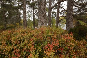 Scots pines (Pinus sylvestris) with a hummock covered in blaeberries (Vaccinium myrtillus) at their base.