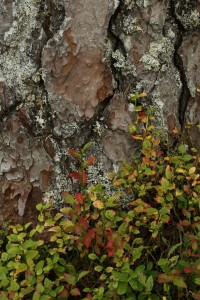 Another juxtaposition of colourful blaeberries and a pattern of bark plates on a Scots pine.