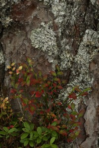 Here some evergreen cowberry and colourful deciduous blaeberry are growing together on the lichen-covered bark at the base of a Scots pine.