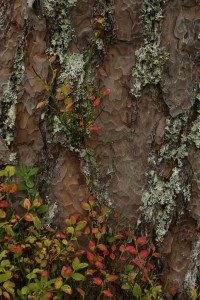 Another patch of blaeberries and lichens growing around the bark at the base of a Scots pine.