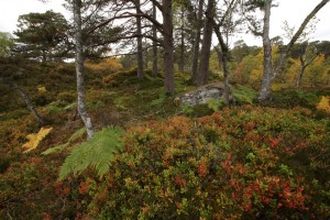 Wider view, showing a mass of blaeberries in their autumn colour, with pines and birch behind.