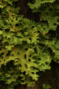 Detail of the lobes of the tree lungwort (Lobaria pulmonaria) on the trunk of the goat willow.