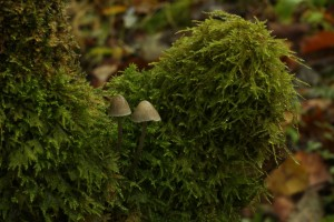 Two more common bonnet fungi (Mycena galericulata) on another piece of dead hazel covered in moss.