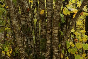 Closer view of the hazel trunks, showing how they are completely covered in crustose lichens.