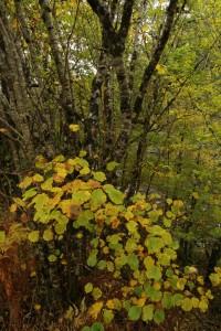 Autumn foliage and multiple trunks of a hazel tree (Corylus avellana) beside the River Moriston at Levishie.