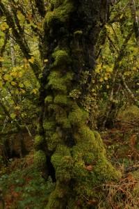Moss-covered trunk of a silver birch tree (Betula pendula) beside the River Moriston at Levishie.