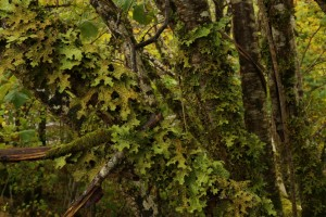 Detailed view of the large patch of tree lungwort on the hazel stems.