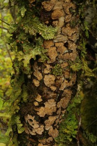 Another view of the tree lungwort and bleeding broadleaf crust fungus (Stereum rugosum) together on the dead hazel stem.