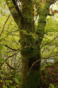 Another view of the moss-covered oak (Quercus petraea). In the centre of the photo, and in the middle of the trunk, there's another patch of tree lungwort.
