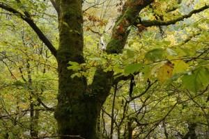 Moss-covered oak tree (Quercus petraea) and the branches of a hazel tree, beside the River Moriston at Levishie.