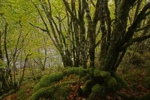 Another cluster of moss-covered hazels beside the River Moriston at Levishie.