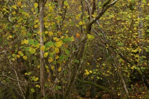 Hazel trees (Corylus avellana) with their leaves just changing colour. The mossy stems and trunks in the lower half of the image indicate the temperate rainforest conditions in the gorge.
